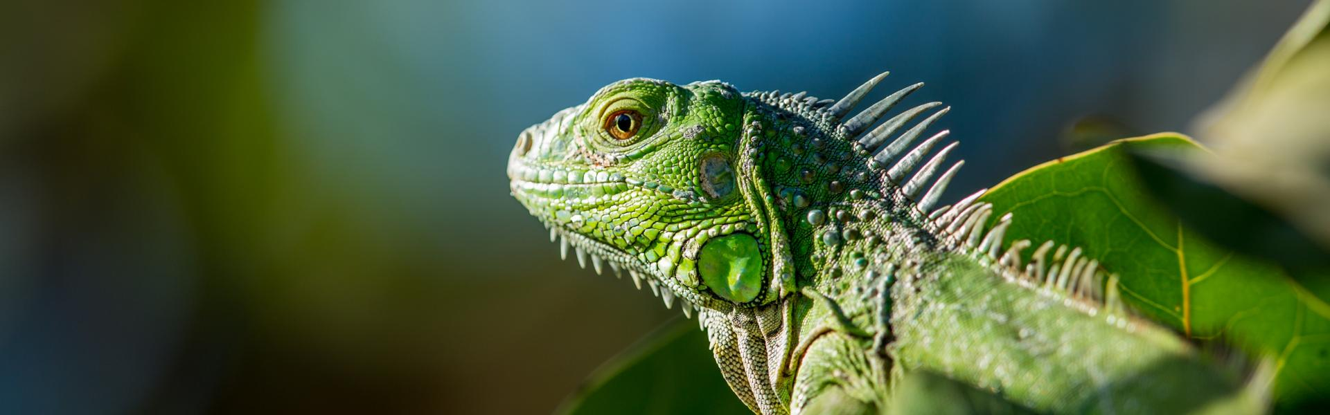 An iguana sitting in a forest.