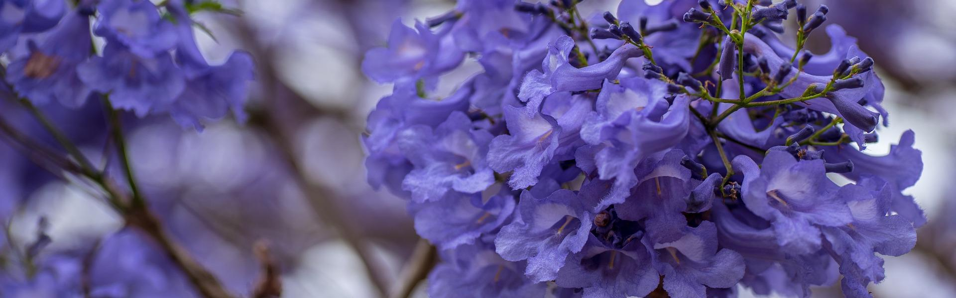 The flowers of a Jacaranda tree.